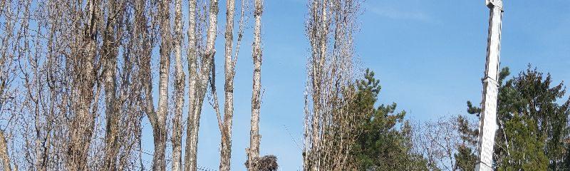 Megigazították a fák koronáit
